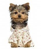 foto of no clothes  - Dressed up Yorkshire Terrier puppy - JPG