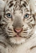 image of white tiger cub  - Close - JPG