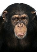 stock photo of ape  - Close - JPG