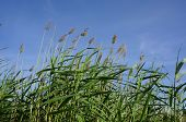 stock photo of bulrushes  - High reed bulrush on blue sky in a sunny summer day - JPG