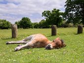 image of pony  - Cute Brown Pony Foal Sleeping on the Grass in the New Forest England - JPG