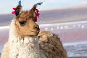 stock photo of lamas  - Lama on the Laguna Colorada Bolivia  - JPG