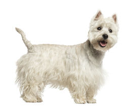 stock photo of westie  - Side view of a West Highland White Terrier panting - JPG