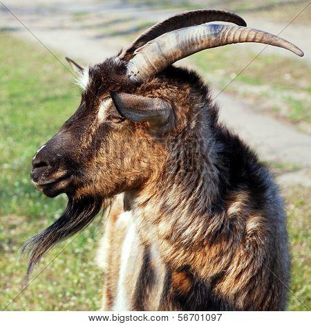 he-goat, billy goat