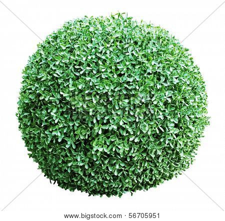 Isolated ornamental bush on a white  background  (work path)