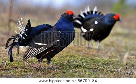 Two Lekking Black Grouses