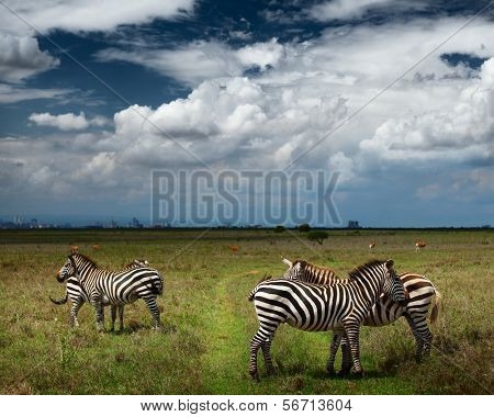 Zebras in savanna of Nairobi National Park. Nairobi skyline is visible on the horizon. Kenya
