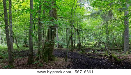 Primeval Deciduous Stand Of Bialowieza Forest In Summer