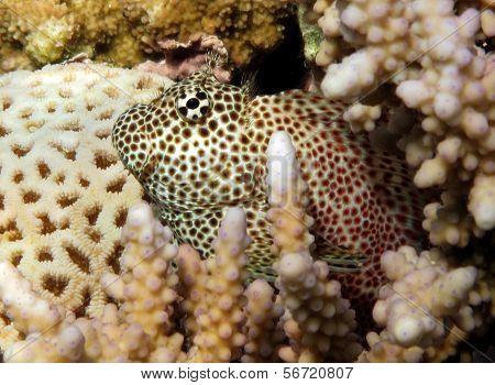 Leopard blenny