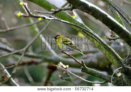 Siskin perched on a branch.