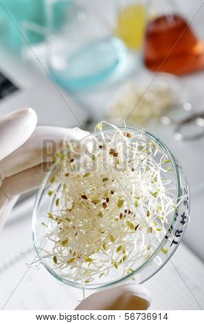 transgenic  food inspection in the laboratory of biotechnology