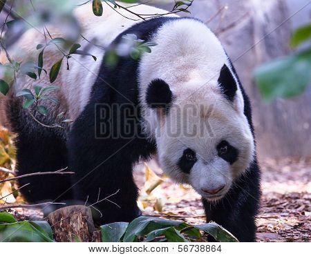 Foraging Panda