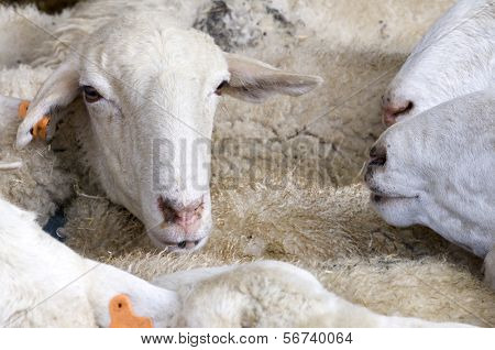 aglomeration in a flock of sheep