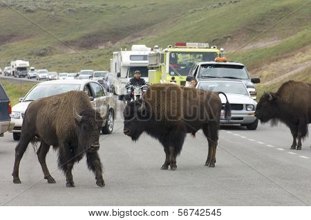 YELLOWSTONE, USA - AUGUST 18: bison on August 18, 2007 in Yellowstone: jam on the highway due to the presence of bison. The road kills of bison pose a serious problem in the park.