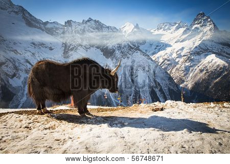 Big Yak