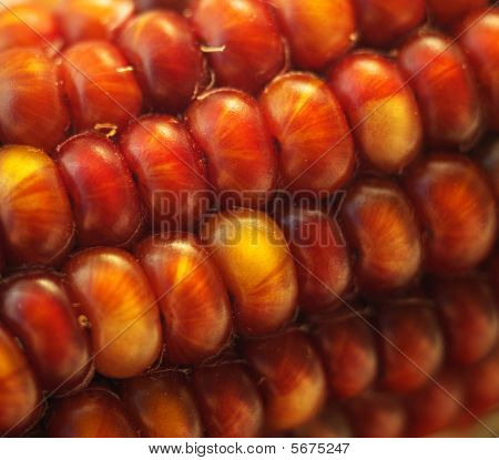 Fiery Colored Indian Corn