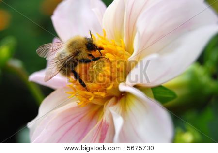 Close up Of Bumblebee On  Flower