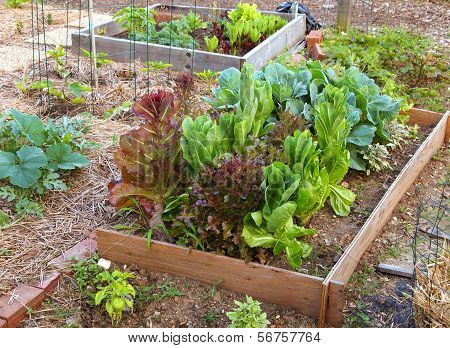 Lettuce And Greens Garden