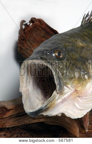 Bass Closeup