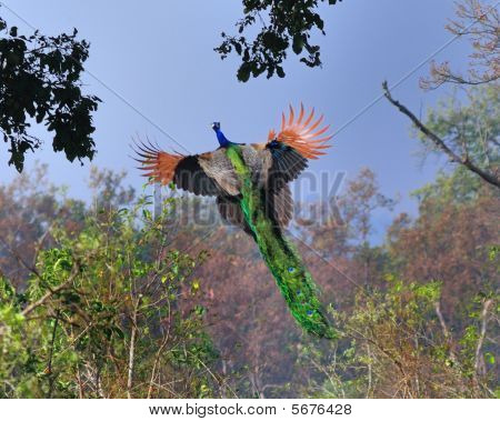 Flying Peacock
