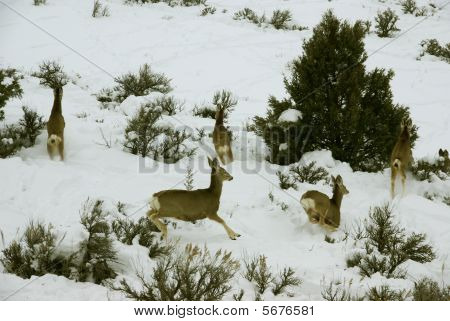 Mule Deer Herd In Deep Snow
