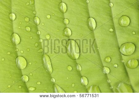Hosta Leaf In The Rain