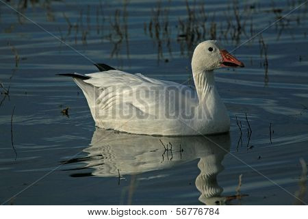 Snow goose resting to feed during fall migration