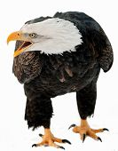 pic of eagles  - Close up Portrait of a Bald eagle  - JPG