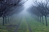 Постер, плакат: Orchard On Foggy Day