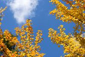stock photo of trident  - Turned yellow of autumn Trident maple leaves under sky - JPG