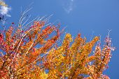 stock photo of trident  - Turned orange color of autumn Trident maple leaves under blue sky - JPG