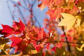 stock photo of trident  - Close up of autumn Trident maple leaf and blurs - JPG