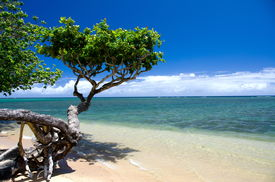 pic of heliotrope  - Beautiful small heliotrope tree cast a shadow over water at Anini beach North shore Kauai   - JPG