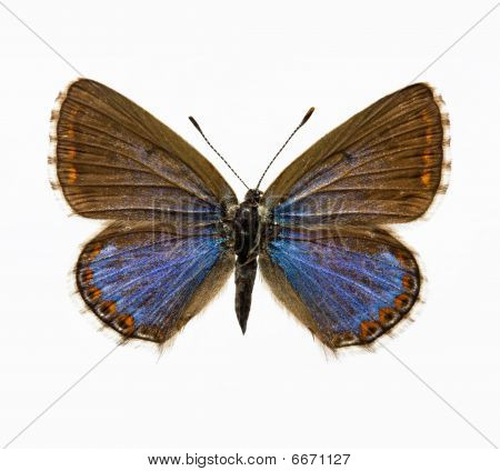 Butterfly - Adonis Blue