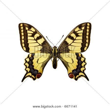Moth - Swallowtail British Race