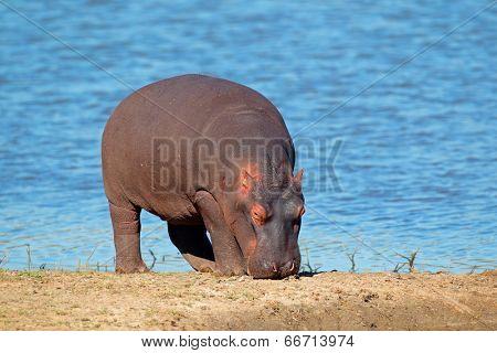 Hippopotamus (Hippopotamus amphibius), South Africa
