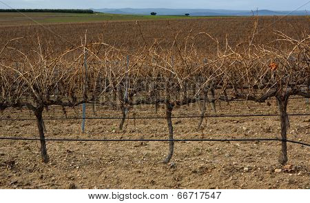 Spanish Vineyard At Winter