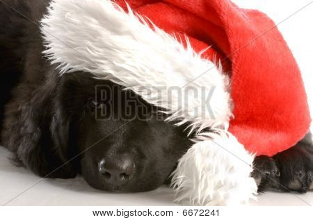 Newfoundland Puppy Wearing Santa Hat