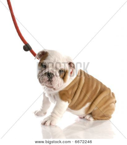 Bulldog Puppy Sitting On A Leash