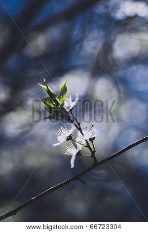 White cherry flowers