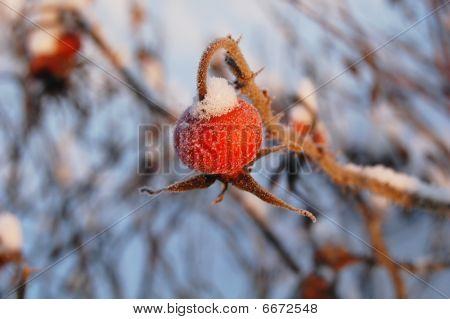 Salvaje rojo rosa mosqueta