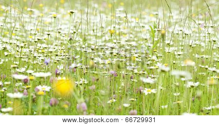 Marguerite flowers in spring field