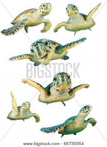 Collection Hawksbill Sea Turtles isolated on white background.