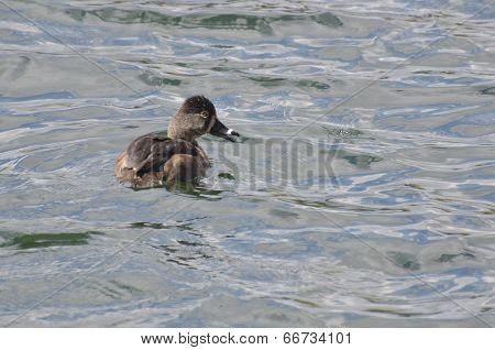 Female Ring-necked Duck Swimming In A Lake