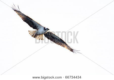 Osprey Hunting On The Wing On White Background