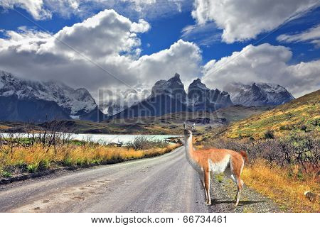 Neverland Patagonia. Lake Pehoe, graceful guanaco on gravel road. Away in the clouds - the cliffs of Los Kuernos.  National Park Torres del Paine in Chile