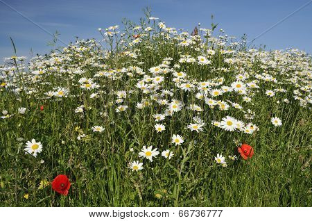 Ox Eye Daisies & Poppies