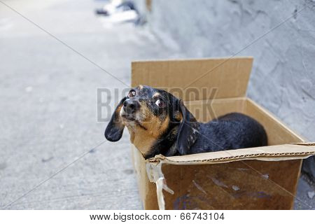 Small abandoned dachshund in box