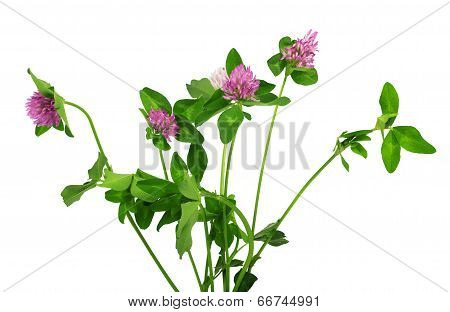 Closeup Of Pink Clover Flower Isolated On White