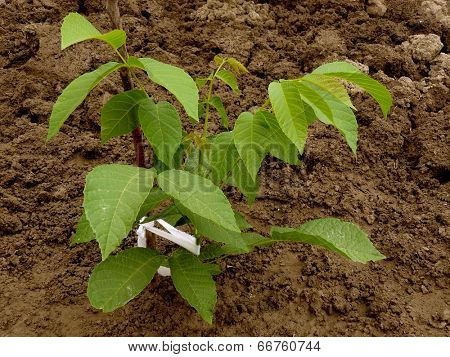 small walnut tree sapling
